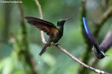 Fahlschwanzkolibri (Boissonneaua flavescens tinochlora) im Bellavista Cloud Forest Reserve, Ecuador
