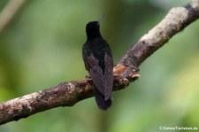 Hyazinthkolibri (Boissonneaua jardini) im Bellavista Cloud Forest Reserve, Ecuador