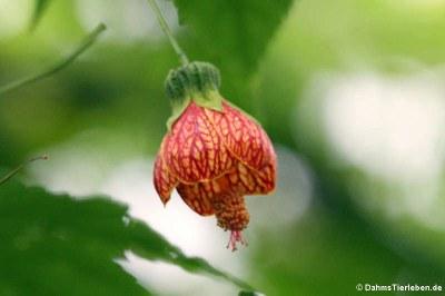 Schönmalve (Abutilon pictum)