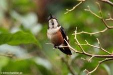 Purpurkehl-Sternkolibri (Calliphlox mitchellii) im Bellavista Cloud Forest Reserve, Ecuador