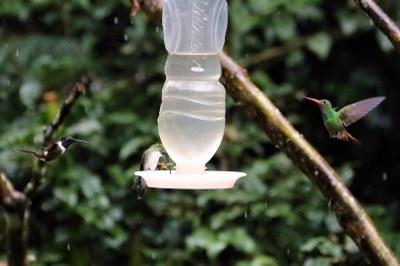 3 verschiedene Kolibris an der Futterstelle