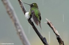 Grünscheitel-Flaggensylphe (Ocreatus underwoodii melanantherus) im Bellavista Cloud Forest Reserve, Ecuador