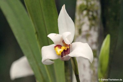 Orchidee (Maxillaria grandiflora)
