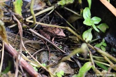 Frosch, vermutlich Pristimantis
