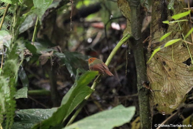 Pseudotriccus ruficeps