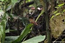 Rotkopftyrann (Pseudotriccus ruficeps) im Bellavista Cloud Forest Reserve, Ecuador
