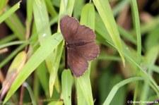 unbekannter Schmettering im Bellavista Cloud Forest Reserve, Ecuador