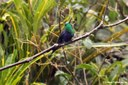 Thalurania colombica