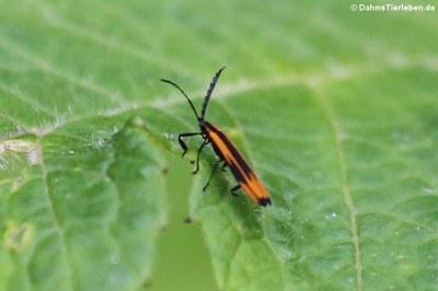 Ein unbekannter KA$?fer aus dem Bellavista Cloud Forest Reserve, Ecuador, mAPglicherweise aus der Gattung Sceloenopla