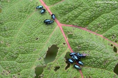 unbekannte KA$?fer im Bellavista Cloud Forest Reserve, Ecuador