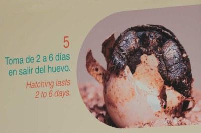 Die Jungtiere benötigen 2-6 Tage zum Schlüpfen