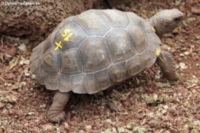 Junge Santiago-Riesenschildkröte (Chelonoidis darwini)