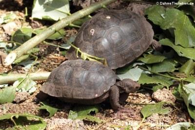 Junge Pinzón-Riesenschildkröten (Chelonoidis duncanensis)