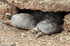 Nachzuchten der Pinzón-Riesenschildkröte (Chelonoidis duncanensis) auf der Charles-Darwin-Forschungsstation in Puerto Ayora auf der Galápagos-Insel Santa Cruz.