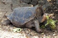 Española-Riesenschildkröte (Chelonoidis hoodensis) von der Charles-Darwin-Forschungsstation in Puerto Ayora auf der Galápagos-Insel Santa Cruz.