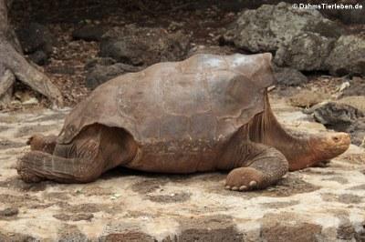 Española-Riesenschildkröte (Chelonoidis hoodensis) im  Darwin-Center auf Santa-Cruz