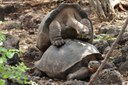 Paarung der Galápagos-Riesenschildkröten