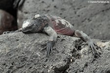 Española Meerechse (Amblyrhynchus cristatus venustissimus) von der Insel Española, Galápagos, Ecuador