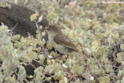 Blindloedarwinfink (Certhidea fusca) aus Espaniola