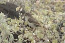 Certhidea fusca cinerascens