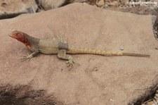 Española lava lizard (Microlophus delanonis) von der Insel Española, Galápagos, Ecuador