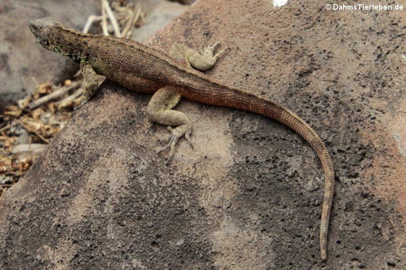 Microlophus delanonis