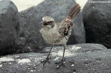 Española-Spottdrossel (Mimus macdonaldi) von der Insel Española, Galápagos, Ecuador