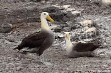 Galapagos-Albatros (Phoebastria irrorata) von der Insel Española, Galápagos, Ecuador