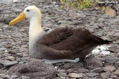 Galapagos-Albatros (Phoebastria irrorata) auf Española
