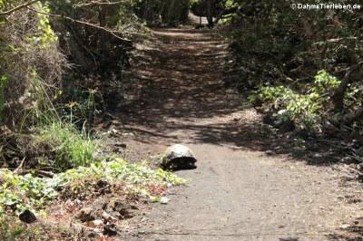 Sierra-Negra-Riesenschildkröte (Chelonoidis guntheri)