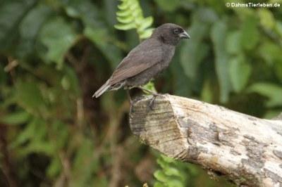 männlicher Kleingrundfink (Geospiza fuliginosa) aus Isabela