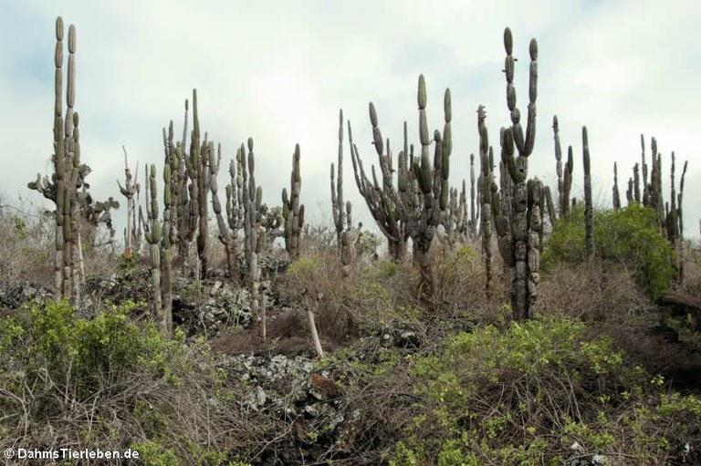 Jasminocereus thouarsii