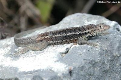 Lava Lizard (Microlophus albemarlensis) auf Isabela
