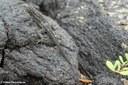 Microlophus albemarlensis