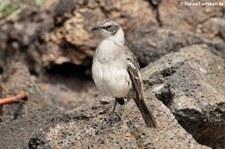 Galápagos Spottdrossel (Mimus parvulus parvulus), Isabela, Galápagos, Ecuador
