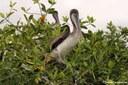 Pelecanus occidentalis urinator