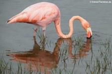 Roter Flamingo (Phoenicopterus ruber glyphorhynchus) auf Isabela, Galápagos, Ecuador