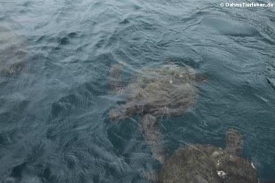 Grüne Meeresschildkröte (Chelonia mydas)