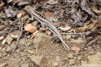 Knobbed Pacific Iguana (Microlophus occipitalis)