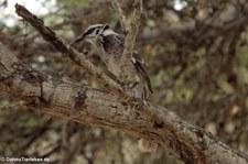 Langschwanz-Spottdrossel (Mimus longicaudatus platensis) Isla de la Plata, Ecuador