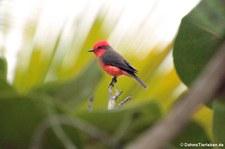 Rubintyrann (Pyrocephalus rubinus piurae) von der Isla de la Plata, Ecuador