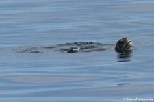 Grüne Meeresschildkröte (Chelonia mydas) am Roca León dormido, Galápagos, Ecuador