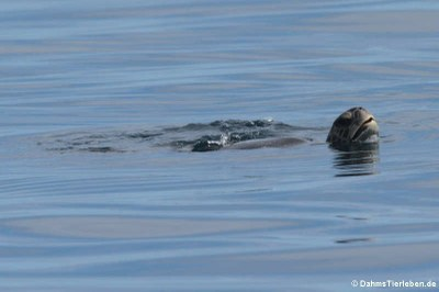Grüne Meeresschildkröte (Chelonia mydas) in der Nähe des Roca León dormido