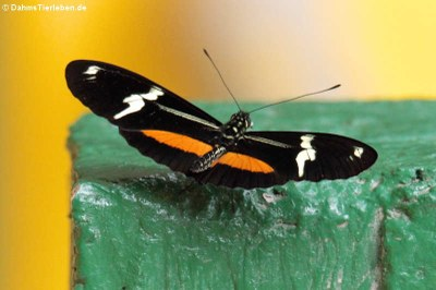 Schmetterling (Heliconius clysonymus hygiana) im Naturschutzgebiet MindoaNambillo