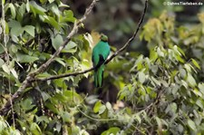 Kammtrogon (Pharomachrus antisianus) aus dem Naturschutzgebiet Mindo–Nambillo, Ecuador