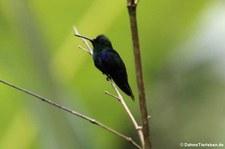 Grünkronennymphe (Thalurania fannyi verticeps) im Naturschutzgebiet Mindo-Nambillo, Ecuador