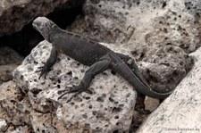 Meerechse (Amblyrhynchus cristatus hassi) auf Plaza Sur, Galápagos, Ecuador