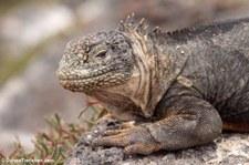 Drusenkopf (Conolophus subcristatus) auf Plaza Sur, Galápagos, Ecuador