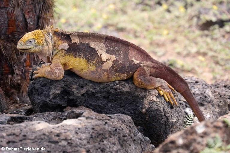 Conolophus subcristatus