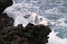 Gabelschwanzmöwe (Creagrus furcatus) von der Insel Plaza Sur, Galápagos, Ecuador